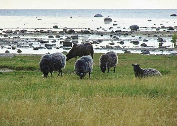 Sheep graze along the Baltic Sea.