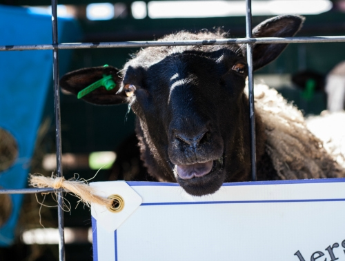 Gotlands at sheep festivals