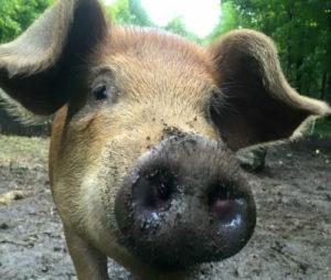 Pigs on VT Grand View Farm