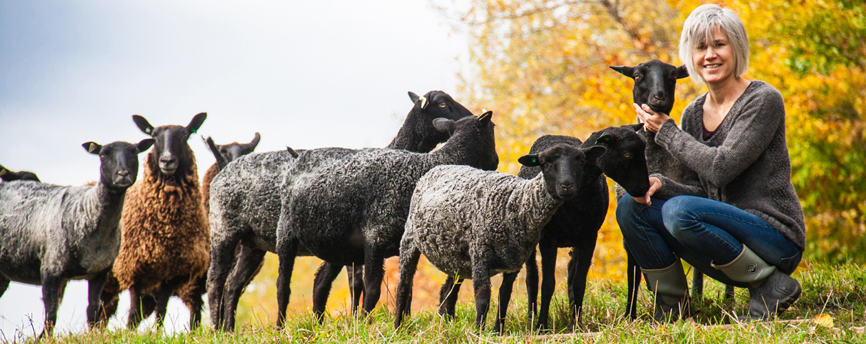 Gotland sheep for sale