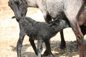 Nursing lambs VT Grand View Farm