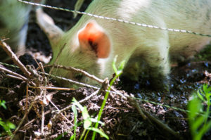 Reclaiming pastures with pigs