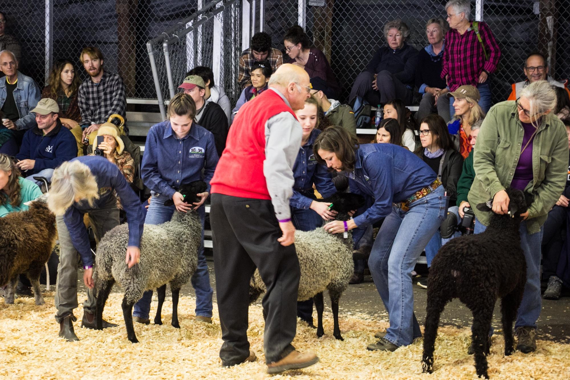 Gotland Sheep for Sale